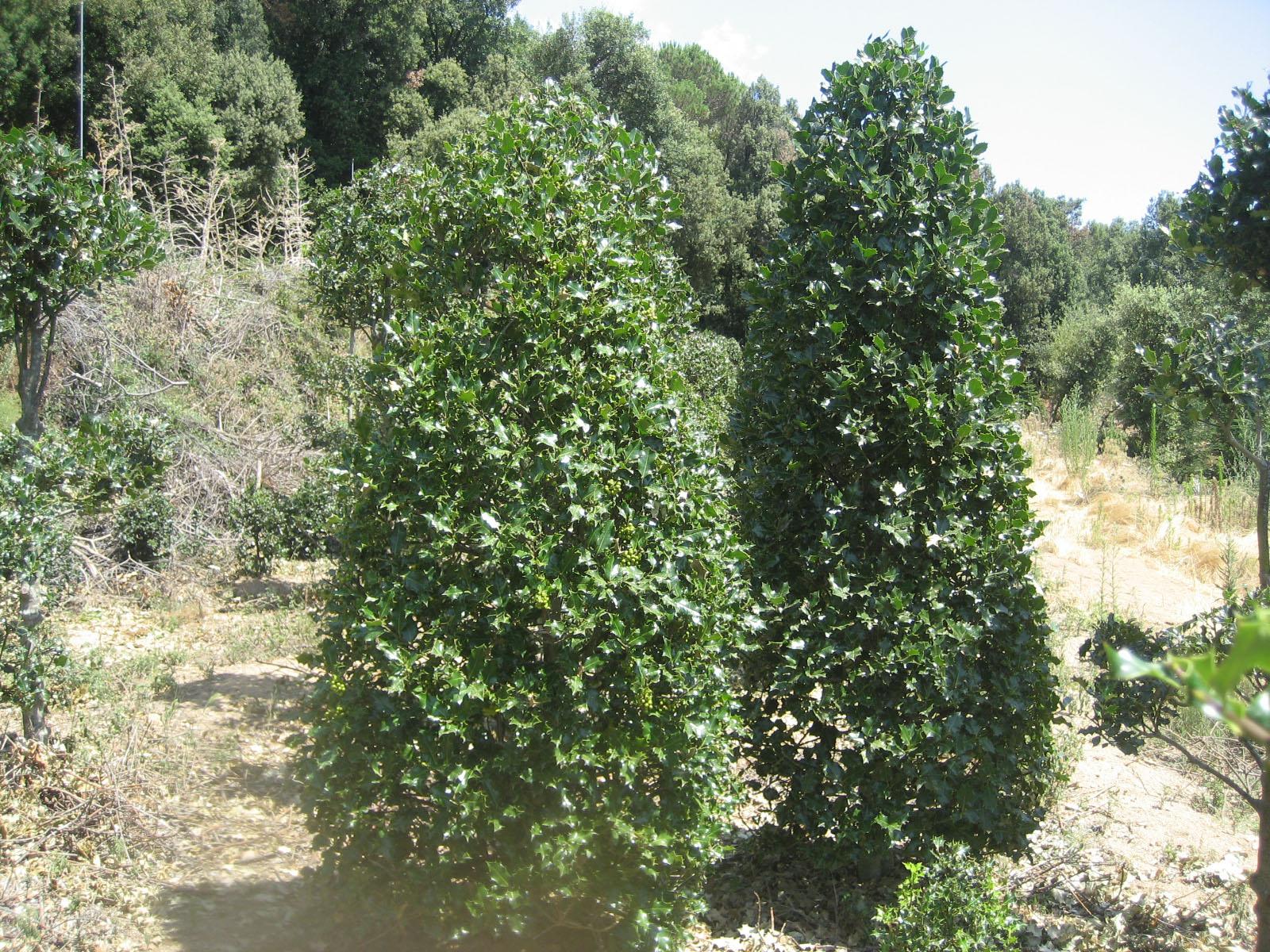 Ilex pir mide aut ctona acebo en forma de pir mide - Arboles y arbustos ...